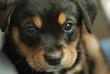 Doggies | Rottweiler