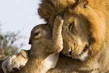 Animals | Lions