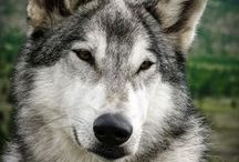 Animals | Wolves