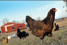 Chicken Chat / Basically everything you could ever want to know about chickens. For even more, visit our online forum on Facebook. https://www.facebook.com/ChickenChat?ref=tn_tnmn  / by P. Allen Smith