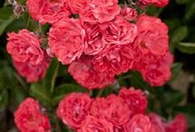 """My Rose Garden / """"There is simply the rose; it is perfect in every moment of its existence.""""      - Ralph Waldo Emerson"""