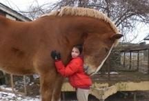 Paarden Chevaux Pferde Horses