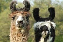 Llamas! / by Ginger Faris