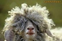 capre - goats