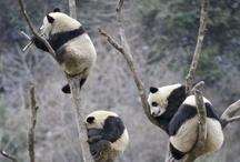 ♡BE LIKE A PANDA♡