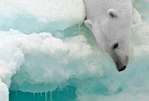 polar bear / polar bear