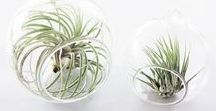 Phyt. / Epi(phyt)e are airplants that only need daylight and occasionally water to survive. They're easy to care for and add a unique green detail to your home!