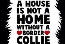 Border Collies & Aussies