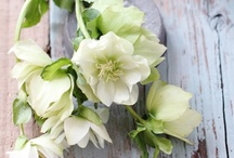 Helleborus / A beautiful early spring flower! One of my favorites!