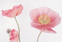 Poppies / by Nancy Dooren