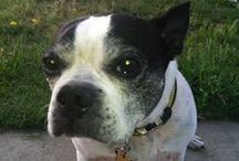 Furry Friends / All about the Boston Terrier