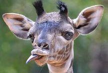 Giraffes / by Bobbi Harrington