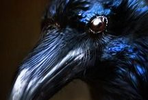 Black bird / ravens, crows, magpies ... and other black birds ......