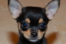 Autres Photos de Chihuahua / Découvrez d'autres belles photos de chihuahuas... autre que le chihuahua Harybo et sa famille !