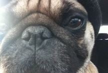 Boxers, Bull Dogs, & Pugs :)  / by Natalie Arnold