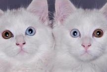 Cats with 2 eye colors