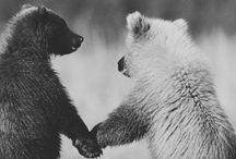 Bears :) / ...and I know kolas are not bears...still :)  / by Natalie Arnold