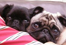Pug Life (Resistance is futile!)