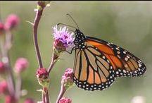 For Pollinators / How to attract pollinators