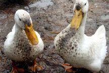 Yard fowl / Preparing for raising ducks.