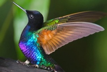 Sweet Sounds of a Hummingbird / Names for hummingbirds in other parts of the world include:◦Beija-Flor: Portuguese for Flower-Kisser. ◦Chupaflor: Spanish for Flower-Sucker. ◦Joyas Voladoras: Spanish for Flying-Jewels. ◦Picaflor: Spanish for Flower-Nibbler. ◦El Zunzun: Caribbean for The Hummer.   IF YOU WOULD LIKE TO BE ADDED TO THIS BOARD PLEASE LEAVE A COMMENT ON ONE OF THE PIN'S...  THANK YOU!!
