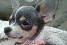 Cute Little Chihuahua