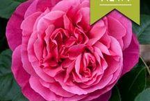Roses & Rose Gardens