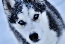 ♥Siberian Huskies♥ / For all of our past, present and future Siberian Husky loves that make us laugh and smile, shake our heads in wonderment, and give us their amazing, unconditional love!  :)   / by AJ PG