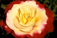 Roses / by Carolyn Walker