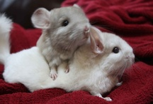 Chinchillas and Chinchilla Care (Animals) / by ʚϊɞ Brenan ʚϊɞ