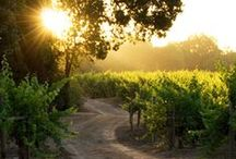 Missouri Wine Country / Blessed to be a Missouri girl who basks in the warm glow of a sunset highlighting neat rows of abundant grape vineyards. Missouri Wineries are gorgeous ~ and the juice they produce isn't bad either.  / by Anita Brooks - Author
