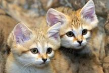 Arabian Sand Cats (Animals) / by ʚϊɞ Brenan ʚϊɞ