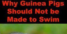 Guinea Pigs Rule