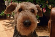 Edward my Airedale / ....so much part of my life x / by Jan Raes