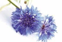 Desmaquillantes Pur Bleuet / El backstage de la recolección del aciano; activo vegetal con propiedades calmantes y relajantes que aporta esa suavidad al desmaquillado.
