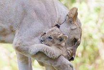 Big Cats! / Beautiful, big cats of all kinds