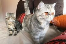 Exotic Shorthair Cats / cute & cuddly & the inspiration behind Garfield.. you gotta love them / by Boutique Baths Pty Ltd