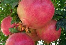 """Fruit © Created by Jehovah / """"Jehovah God planted a garden in Eʹden,+ toward the east; and there he put the man whom he had formed. Thus Jehovah God made to grow out of the ground every tree that was pleasing to look at and good for food and also the tree of life in the middle of the garden and the tree of the knowledge of good and bad.""""—Bible book of Genesis chapter 2 verses 8 and 9"""
