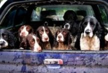 Dogs / I Love dogs!!! I have two of them; an english springer spaniel (1) and a cocker spaniel (10). A house is not a home without a pet. / by Kim Snelgrove