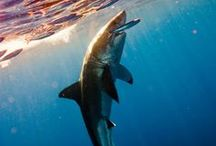 Sharks / Live every week like it's Shark Week. / by Oceana