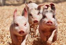 SMILE: PIGS / Squeeee... piggies!