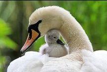 Swan Medicine