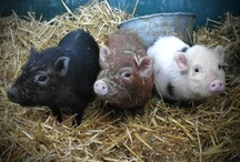 PIGGIES / Baby pigs are so adorable! / by Marcy Antle