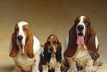 Basset Hounds! / Obvious / by Kathy Shaw