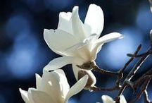 Magnolia Love / Magnolia Trees, Blossoms, Crafts, Pictures, Books etc.