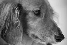 I love my Doxie / by Stephanie Bitoni