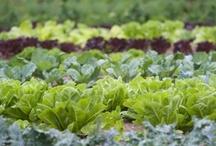 Vegetable Gardening / by Heidi Gonzales