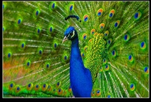Peacock Fever  / Peacocks! Bird, Colour, Feathers. I love any thing and everything Peacock related.
