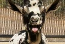 Dairy Goats / by Heidi Gonzales