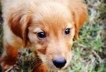 The Golden Rule / Celebrating our newest addition, Duke! A 'Red Golden Retriever' born on July 12.